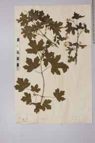 Acer campestre herbarium specimen from Woodend, VC13 West Sussex by Charles Ottley Groom.
