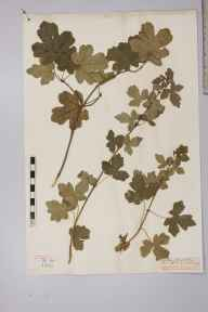 Acer campestre herbarium specimen from Walton on the Naze, VC19 North Essex in 1882 by Mr Frederick Yorke Brocas.