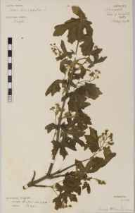 Acer campestre herbarium specimen from Newport, VC10 Isle of Wight in 1906 by Rev. Herbert Mann Livens.