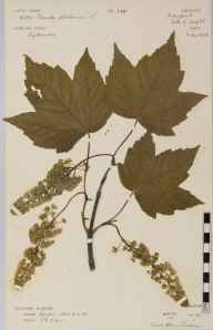 Acer pseudoplatanus herbarium specimen from Newport, VC10 Isle of Wight in 1906 by Rev. Herbert Mann Livens.