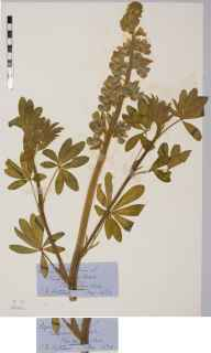Lupinus perennis herbarium specimen from Kingcausie, VC91 Kincardineshire in 1874 by Isobel Barclay Fortescue.