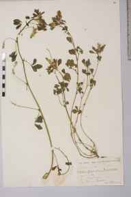 Melilotus altissimus herbarium specimen from Ince Moss, Bamfurlong, VC59 South Lancashire in 1909 by Thomas Greenlees.