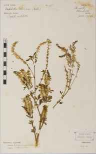 Melilotus officinalis herbarium specimen from Heswall, VC58 Cheshire in 1896.