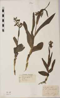 Epipactis palustris herbarium specimen from Scawton Howle, VC62 North-east Yorkshire in 1850 by Mr William Foggitt.