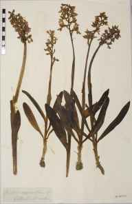 Orchis mascula herbarium specimen from Cothill, VC22 Berkshire.