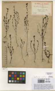 Euphrasia arctica herbarium specimen collected in 1846 by L D Coudray.
