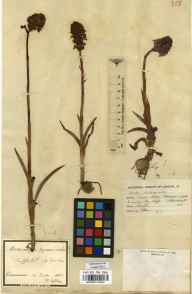 Anacamptis pyramidalis herbarium specimen collected in 1862.