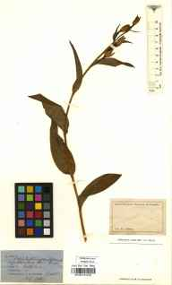 Cephalanthera damasonium herbarium specimen from Devizes, Roundway Down, VC7 North Wiltshire in 1860 by Dr Thomas Bruges Flower.