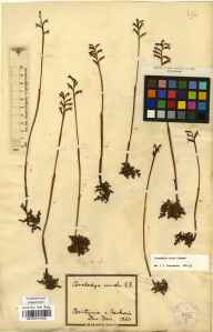 Corallorhiza trifida herbarium specimen collected by David Don.