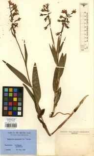 Epipactis palustris herbarium specimen from Porthcawl, VC41 Glamorganshire in 1952 by C. Helsby.