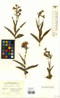Epipactis palustris herbarium specimen from Roanhead, VC69 Westmorland in 1980 by Phyllis Mary Chorley.