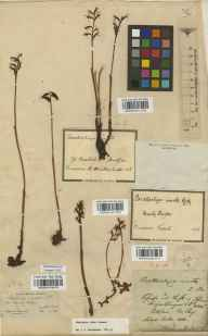 Corallorhiza trifida herbarium specimen collected in 1834 by Andreas Sauter.