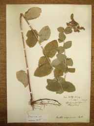 Mentha spicata x suaveolens = M. x villosa var. alopecuroides herbarium specimen from Witley, VC17 Surrey in 1889 by Rev. Edward Shearburn Marshall.
