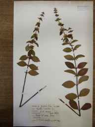 Mentha arvensis x spicata = M. x gracilis herbarium specimen from kingston, VC95 Moray in 1964 by Mary McCallum Webster.