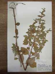 Mentha arvensis x spicata = M. x gracilis herbarium specimen from Tan-y-ffridd, VC50 Denbighshire in 1955 by Cambridge Botany Schppl Expedition, Wales.