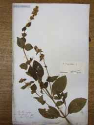Mentha arvensis x spicata = M. x gracilis herbarium specimen from Edinburgh, VC83 Midlothian in 1838 by Rev Thomas Blizzard Bell.