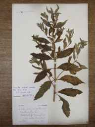 Mentha arvensis x spicata = M. x gracilis herbarium specimen from Little Ormes Head, VC49 Caernarvonshire in 1869 by Mr Spencer Henry Bickham.