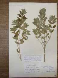 Mentha arvensis x spicata = M. x gracilis herbarium specimen from Ripley, VC17 Surrey in 1912 by Mr Charles Edgar Salmon.