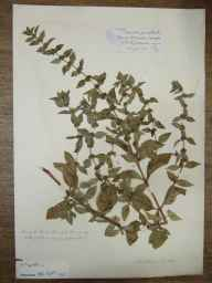 Mentha arvensis x spicata = M. x gracilis herbarium specimen from Great Doward, VC36 Herefordshire in 1906 by Rev. Augustin Ley.