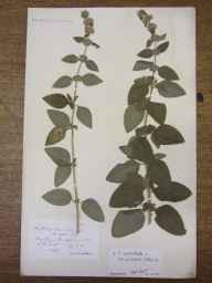 Mentha arvensis x aquatica = M. x verticillata herbarium specimen from Kings Brompton, VC5 South Somerset in 1907 by Rev. Edward Shearburn Marshall.