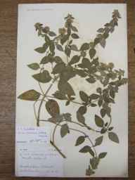 Mentha arvensis x aquatica = M. x verticillata herbarium specimen from Freshwater, VC10 Isle of Wight in 1906 by Edward Walter Hunnybun.