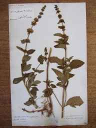Mentha arvensis x aquatica x spicata = M. x smithiana herbarium specimen from Langridge, VC6 North Somerset in 1833.