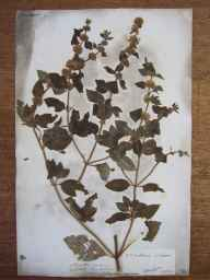 Mentha arvensis x aquatica x spicata = M. x smithiana herbarium specimen from Settle, VC64 Mid-west Yorkshire in 1833 by Rev. John Howson.
