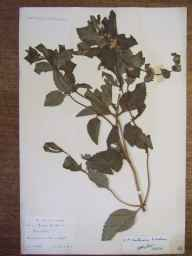 Mentha arvensis x aquatica x spicata = M. x smithiana herbarium specimen from Swainston, VC10 Isle of Wight in 1892 by Rev. Arthur George Gregor.