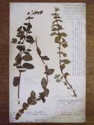 Mentha arvensis x aquatica x spicata = M. x smithiana herbarium specimen from Mersea Island, VC19 North Essex in 1912 by George Charles Brown.