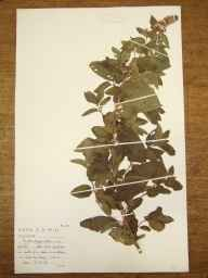 Mentha aquatica x spicata = M. x piperita herbarium specimen from Sharpham, VC6 North Somerset in 1954 by Beverley Alan Miles.