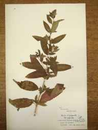 Mentha aquatica x spicata = M. x piperita herbarium specimen from Llangollen, VC50 Denbighshire in 1955 by Cambridge Botany Schppl Expedition, Wales.