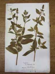 Mentha aquatica x spicata = M. x piperita herbarium specimen from Aske Wood, VC65 North-west Yorkshire in 1835 by Mr James Ward.