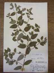 Mentha aquatica x spicata = M. x piperita herbarium specimen from Praa Sands, VC1 West Cornwall in 1911 by Mr Frederick Hamilton Davey.