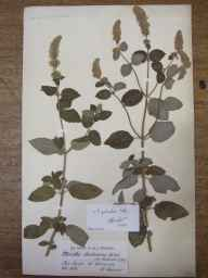 Mentha aquatica x spicata = M. x piperita herbarium specimen from Praa Sands, VC1 West Cornwall in 1882 by Mr William Curnow.