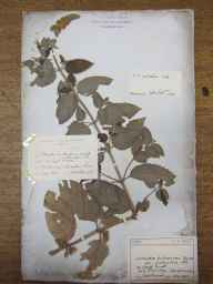 Mentha aquatica x spicata = M. x piperita herbarium specimen from Old Storridge Common, VC37 Worcestershire in 1892 by James Henry Augustus Steuart.