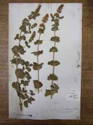 Mentha aquatica x spicata = M. x piperita var. crispa herbarium specimen from Langleeford, VC68 North Northumberland in 1834 by Dr George Johnston.