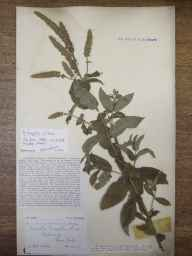 Mentha spicata x suaveolens = M. x villosa var. nicholsoniana herbarium specimen from Three Cocks Junction, VC42 Breconshire in 1907 by Rev. Augustin Ley.