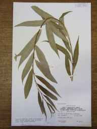 Salix alba x babylonica = S. x sepulcralis var. chrysocoma herbarium specimen from Cambridge, Coe Fen, VC29 Cambridgeshire in 1986 by Peter Derek Sell.