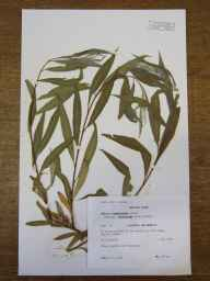Salix alba x babylonica = S. x sepulcralis var. chrysocoma herbarium specimen from Barton, VC29 Cambridgeshire in 1991 by Peter Derek Sell.