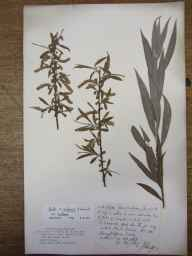 Salix fragilis x alba = S. x rubens herbarium specimen from Essex in 1868 by Rev. John Ewbank Leefe.