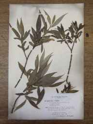 Salix fragilis x alba = S. x rubens herbarium specimen from Malvern, VC37 Worcestershire in 1894 by Mr Richard Francis Towndrow.