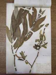 Salix fragilis x alba = S. x rubens herbarium specimen from Hitchin, VC20 Hertfordshire in 1921 by Mr Joseph Edward Little.