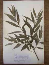 Salix fragilis x alba = S. x rubens herbarium specimen from Malvern Link, VC37 Worcestershire in 1904 by Mr Spencer Henry Bickham.