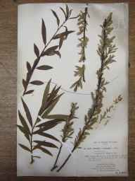 Salix triandra x viminalis = S. x mollissima herbarium specimen from River Wye, VC36 Herefordshire in 1894 by Rev William Richardson Linton.