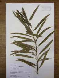 Salix triandra x viminalis = S. x mollissima herbarium specimen from Sutton Gault, VC29 Cambridgeshire in 1988 by Peter Derek Sell.