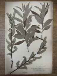 Salix viminalis x caprea = S. x smithiana herbarium specimen from Shirley, VC57 Derbyshire in 1894 by Rev William Richardson Linton.