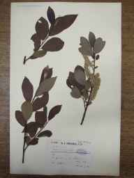 Salix caprea x cinerea = S. x reichardtii herbarium specimen from Garve, VC106 East Ross & Cromarty in 1909 by Dr William Andrew Shoolbred.