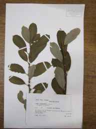 Salix caprea x cinerea = S. x reichardtii herbarium specimen from Meldreth, VC29 Cambridgeshire in 1990 by Peter Derek Sell.