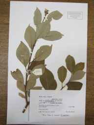 Salix caprea x cinerea = S. x reichardtii herbarium specimen from Teversham, VC29 Cambridgeshire in 1988 by Peter Derek Sell.