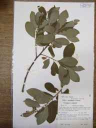 Salix caprea x cinerea = S. x reichardtii herbarium specimen from Bassingbourn, VC29 Cambridgeshire in 1986 by Peter Derek Sell.